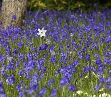 Daffoldil and Bluebells 220x193